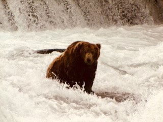 Grizzly bear fishing in Katmai National Park