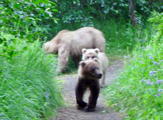 Family of bears sighting in Katmai National Park
