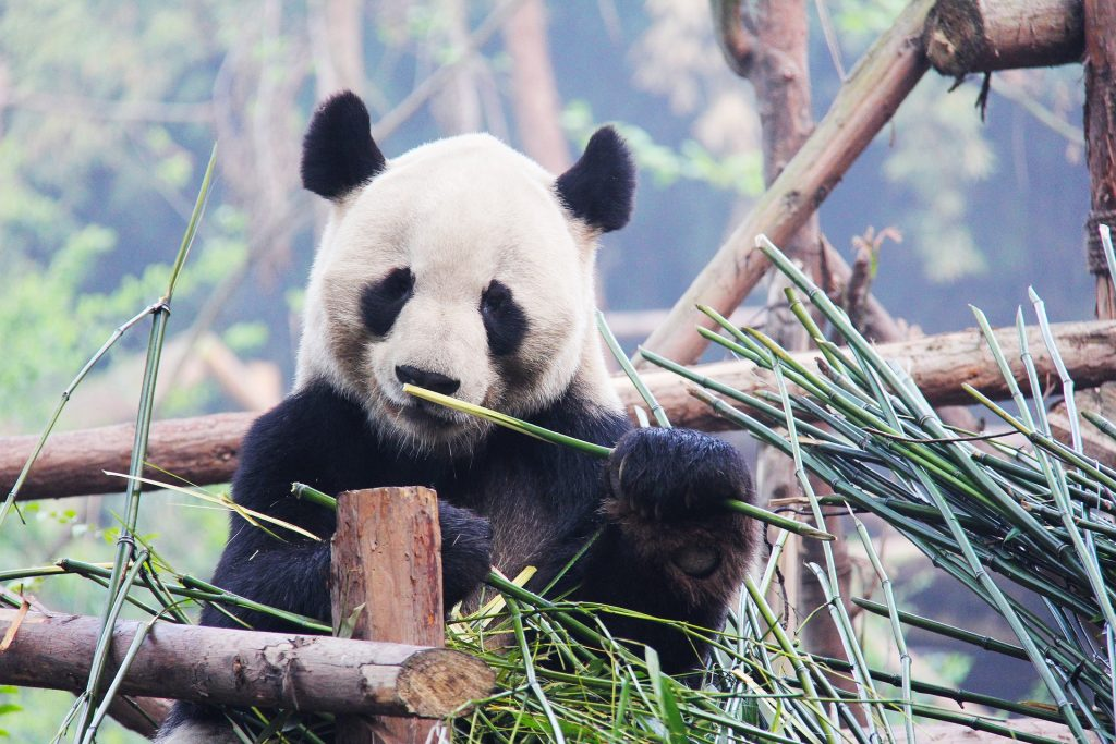 Panda spotting in Sichuan, China